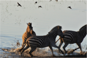 Gwen Telgenhoff won third place with her photo of zebras running at Chobe National Park in South Africa. Photo Courtesy of Gwen Telgenhoff.